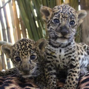 baby tiger,baby cheetah,exotic animals for sale,exotic pets for sale,tiger for sale,tiger cubs for sale,baby tiger for sale,lion for sale,Big Cats For Sale,Lion Cubs For Sale,exotic pets for sale near me,Cheetah For Sale,Pet Tiger For Sale,baby lion for sale,Black Panther for Sale,exotic pets for sale online,real baby tiger for sale,leopard cat for sale,Asian Leopard Cat For Sale,baby cheetah for sale,cheetah cubs for sale,exotic pets for sale in texas,exotic animals for sale online,pet lion for sale,exptic animals for sale,small exotic pets for sale,baby white tiger for sale,cubs for sale,pet cheetah for sale,cheap exotic pets for sale,baby tiger cubs for sale,black panther cubs for sale,mountain lion cubs for sale,jaguar cubs for sale,baby jaguar for sale,baby jaguar animal for sale,baby lion cubs for sale,lion cubs for sale prices,jaguar cub price,newborn tiger cubs for sale,asian leopard cat for sale price,asian spotted leopard cat for sale,leopard asian cat for sale,asian spotted leopard cat for sale,Buy a cheetah,panther cubs for sale,albino lion cubs for sale,Tigers For for Sale Online,lion cubs for sale near me,where to buy a cheetah,lion for sale price,asian leopard cat for sale in california,lion and tiger cubs for sale,Where Can You Buy A Tiger Cub,exotic lions for sale,asian leopard for sale,black panther cubs for sale in india,buy cheetah cub,Buy Tigers For Sale CHeap,exotic pets near me for sale,baby tiger cubs for sale in dubai,panther cubs for sale uk,baby jaguar cubs for sale