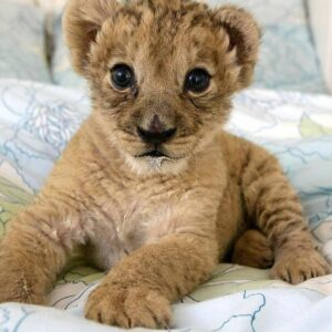 baby tiger,baby cheetah,exotic animals for sale,exotic pets for sale,tiger for sale,tiger cubs for sale,baby tiger for sale,lion for sale,Big Cats For Sale,Lion Cubs For Sale,exotic pets for sale near me,Cheetah For Sale,Pet Tiger For Sale,baby lion for sale,Black Panther for Sale,exotic pets for sale online,real baby tiger for sale,leopard cat for sale,Asian Leopard Cat For Sale,baby cheetah for sale,cheetah cubs for sale,exotic pets for sale in texas,exotic animals for sale online,pet lion for sale,exptic animals for sale,small exotic pets for sale,baby white tiger for sale,cubs for sale,pet cheetah for sale,cheap exotic pets for sale,baby tiger cubs for sale,black panther cubs for sale,mountain lion cubs for sale,jaguar cubs for sale,baby jaguar for sale,baby jaguar animal for sale,baby lion cubs for sale,lion cubs for sale prices,jaguar cub price,newborn tiger cubs for sale,asian leopard cat for sale price,asian spotted leopard cat for sale,leopard asian cat for sale,asian spotted leopard cat for sale,Buy a cheetah,panther cubs for sale,albino lion cubs for sale,Tigers For for Sale Online,lion cubs for sale near me,where to buy a cheetah,lion for sale price,asian leopard cat for sale in california,lion and tiger cubs for sale,Where Can You Buy A Tiger Cub,exotic lions for sale,asian leopard for sale,black panther cubs for sale in india,buy cheetah cub,Buy Tigers For Sale CHeap,exotic pets near me for sale,baby tiger cubs for sale in dubai,panther cubs for sale uk,baby jaguar cubs for sale,triumph tiger cub 200cc for sale,triumph tiger cub for sale australia